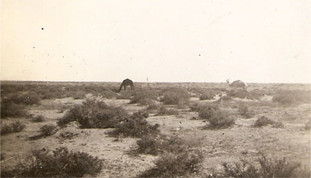 "Photo taken by Sgt. Robert Otterson in N. African desert, 1942, entitled ""Camels"""